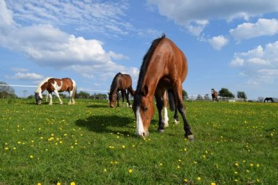 How to Identify and Manage Laminitis how to dressage